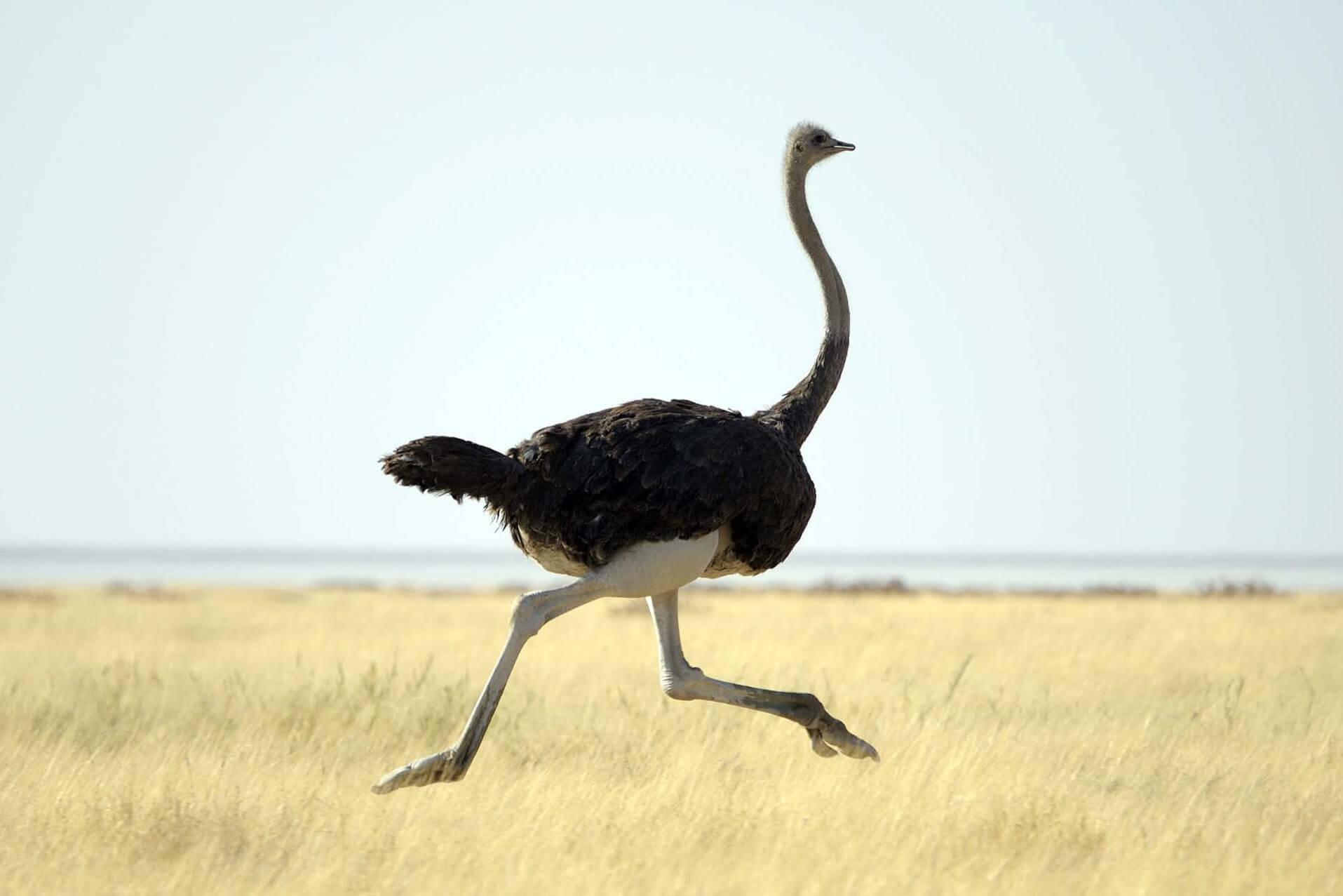 Полет страуса