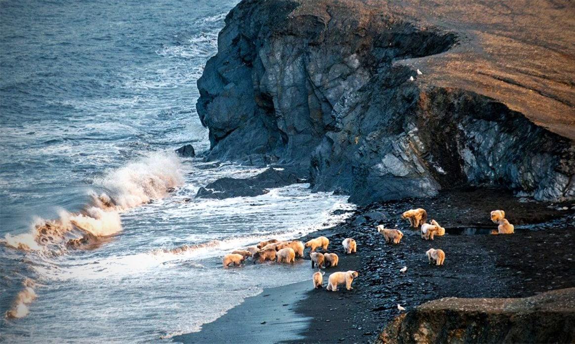Белые медведи на побережье Чукотского моря (остров Врангеля)