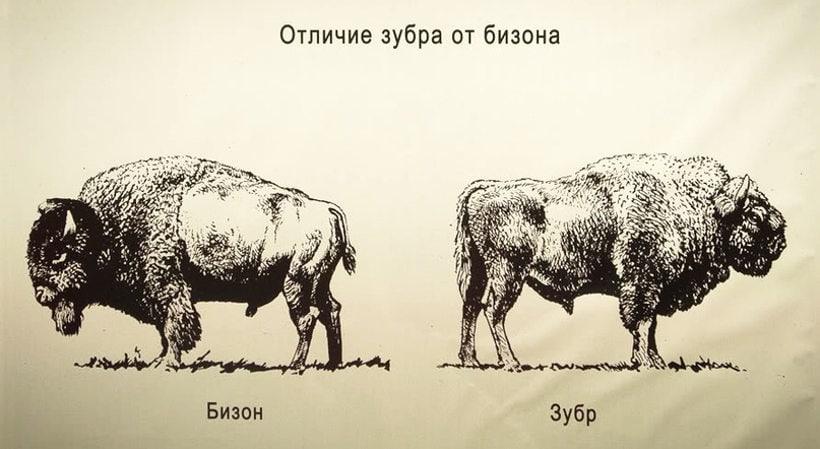 Отличие зубра и бизона