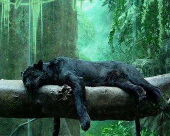 Пантера на дереве
