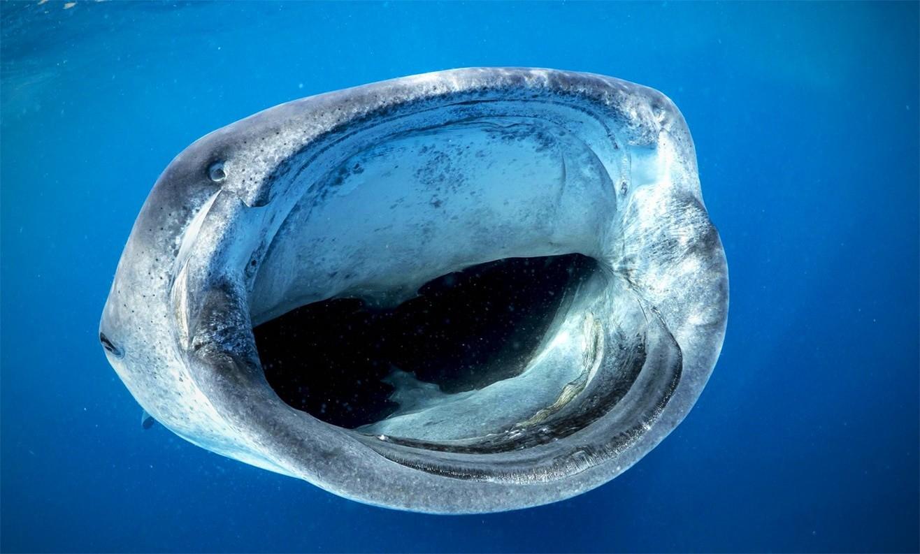 Пасть китовой акулы