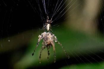 Копия паука Cyclosa mulmeinensis