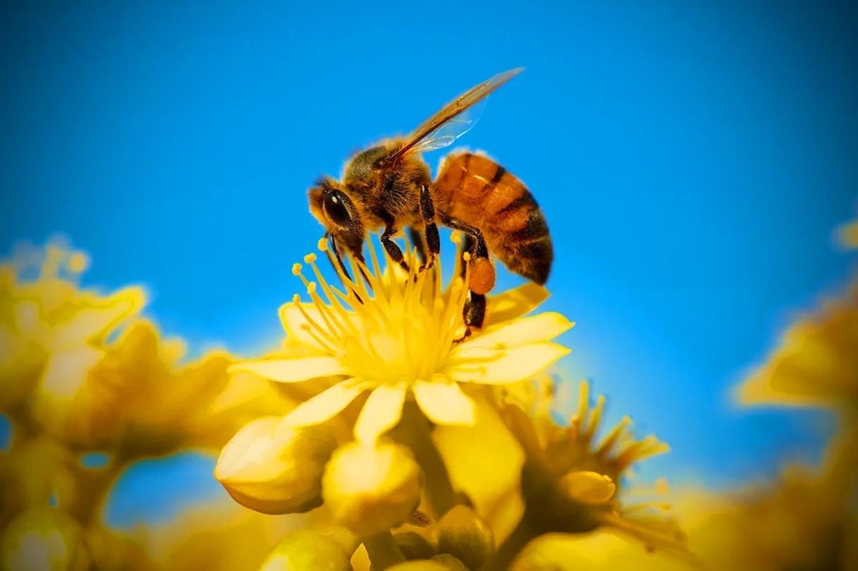 Пчела: описание, размножение, образ жизни, питание, враги, как делают мед, интересные факты