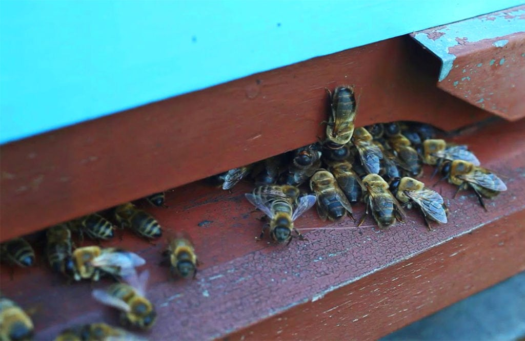 Пчелы выгоняют трутней из улья