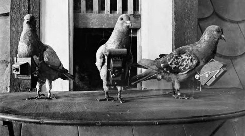Почтовый голубь разведчик