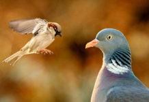 Почему голуби ходят, а воробьи подпрыгивают?