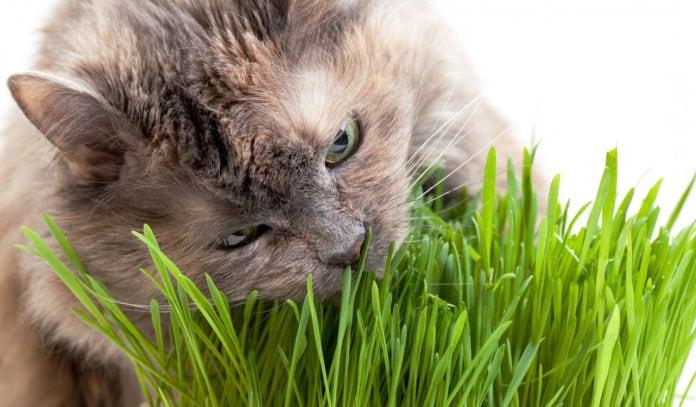 Почему кошки едят траву?