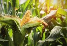 Почему кукуруза не размножается в дикой природе?