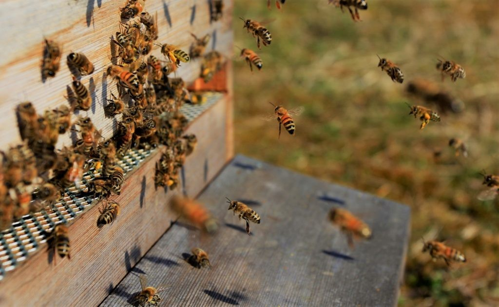 Пчелы во время работы