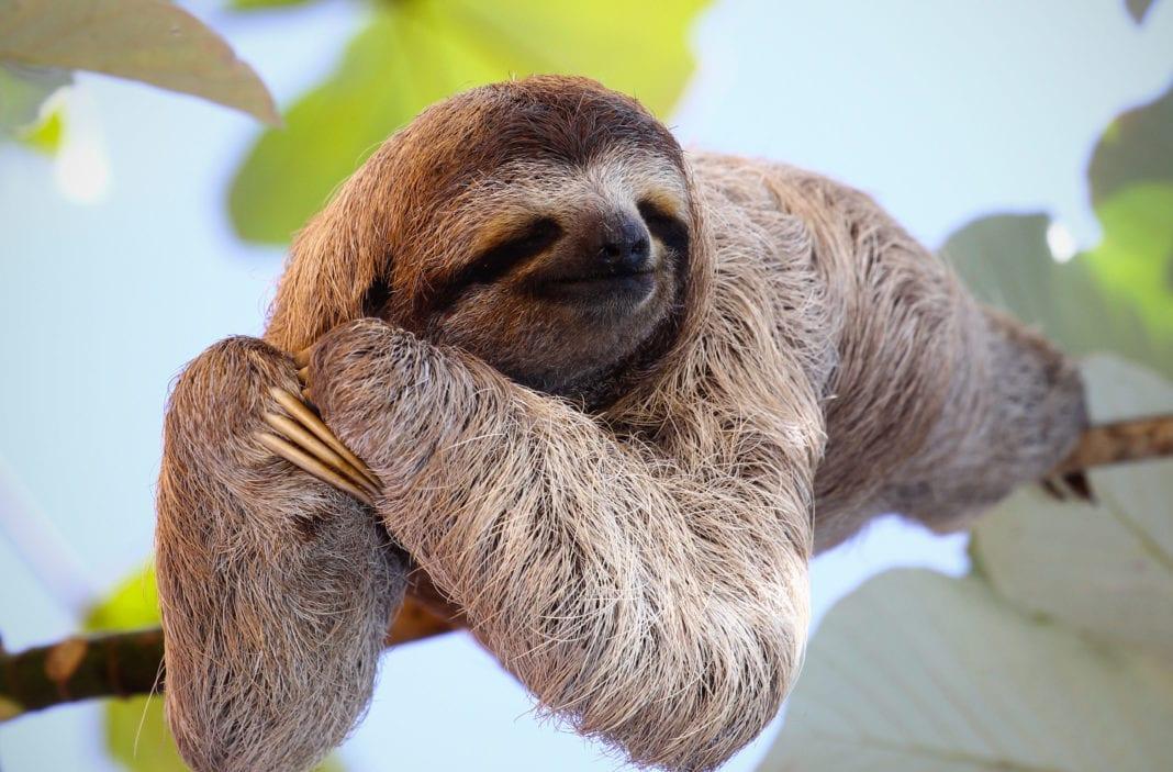 некоторых картинка ленивица животное отметить, что она