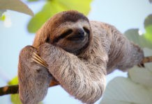 Почему ленивцы такие медлительные?