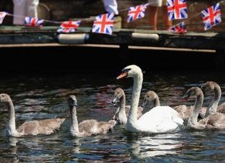 Почему все лебеди Англии принадлежат королеве?