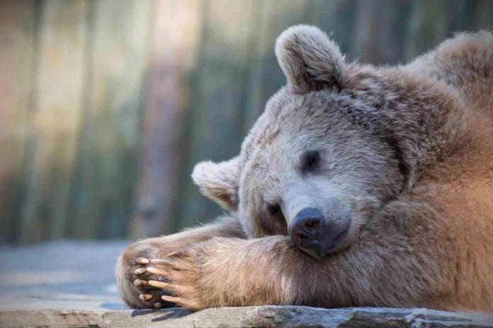 Как животные готовятся к спячке?