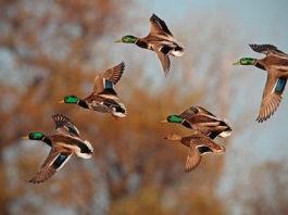 Почему одни птицы летают стаями, а другие поодиночке?