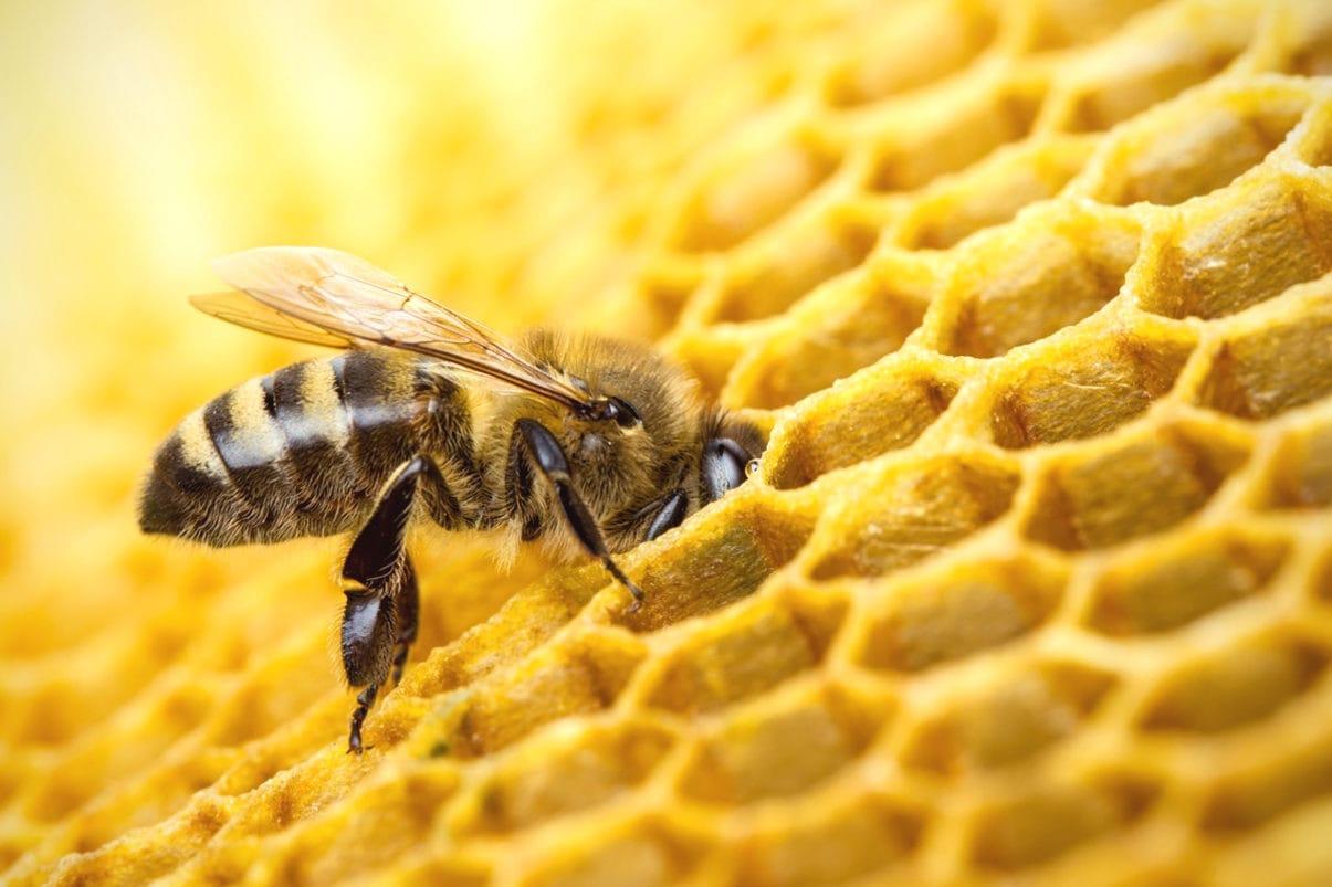 Почему пчелы делают больше меда, чем им нужно?
