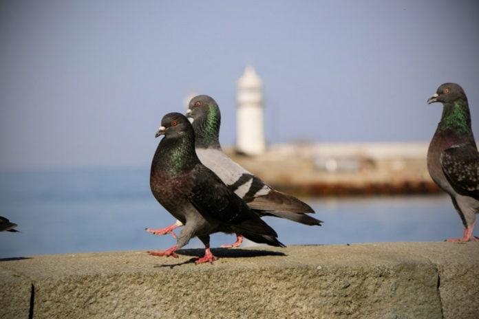 Почему при ходьбе голуби кивают головой?