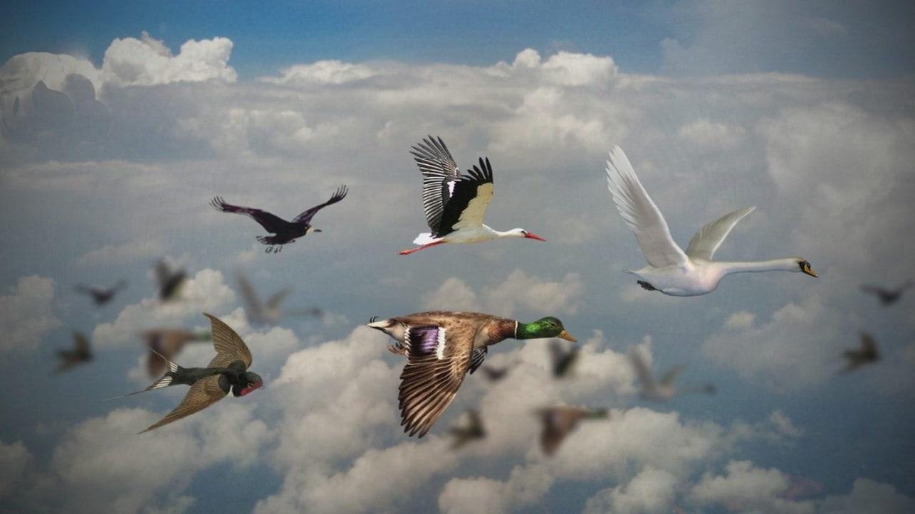 Почему большинство видов перелётных птиц не могут путешествовать через океан?
