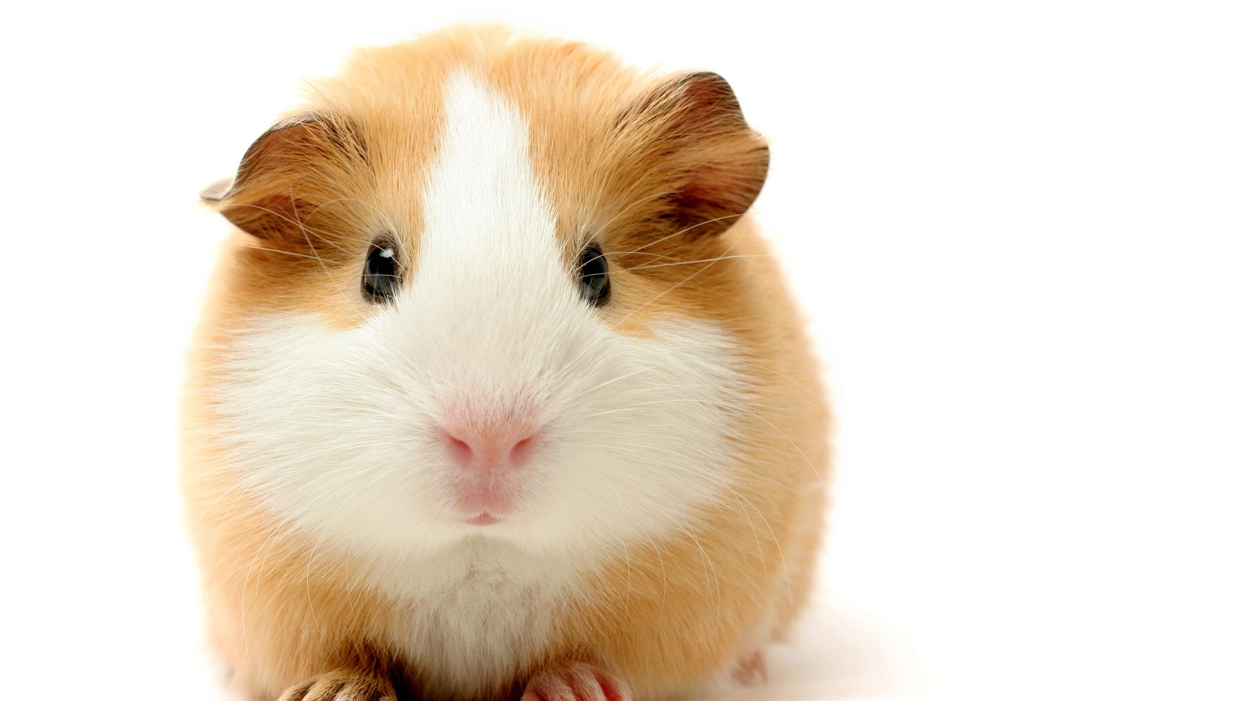 Почему свинка называется: морская?