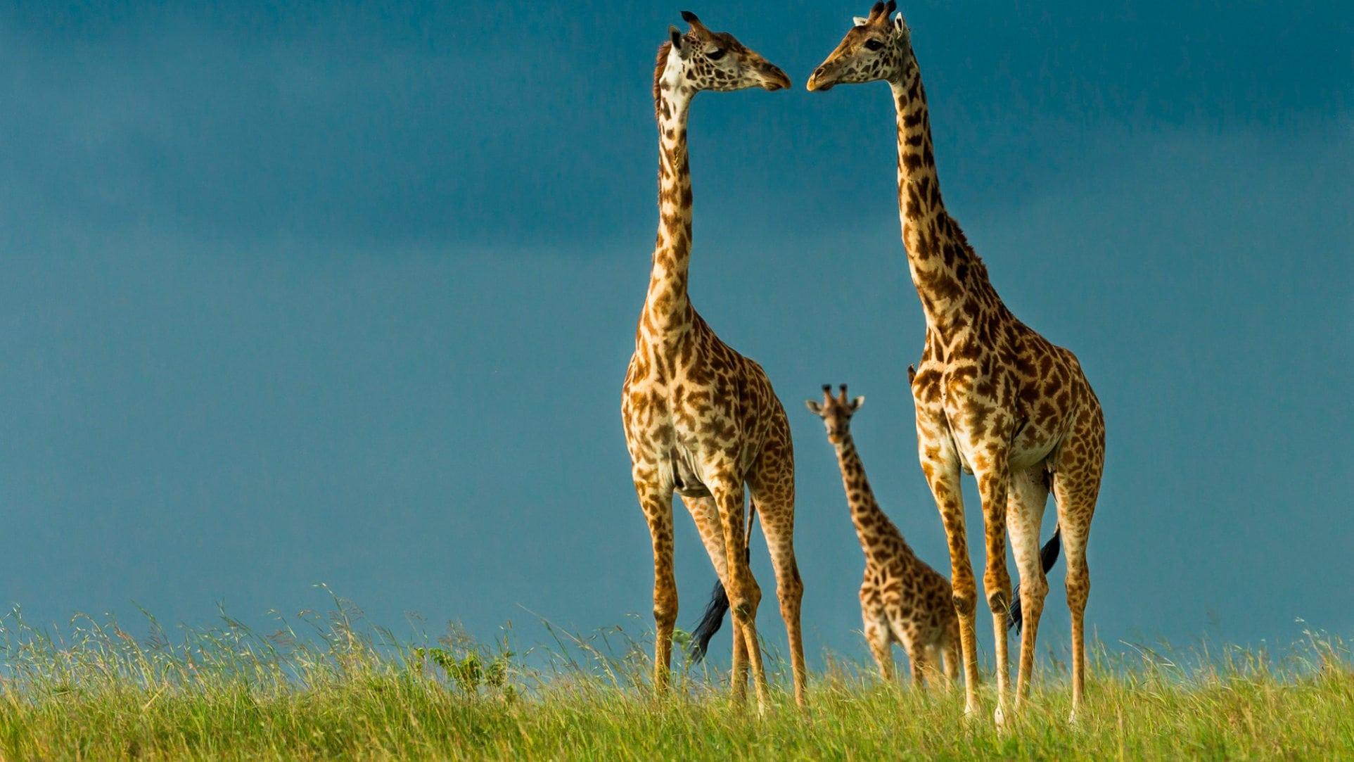 Почему у жирафа длинная шея?