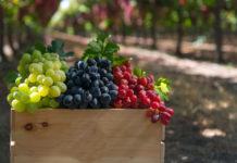 Как размножается виноград без косточек?