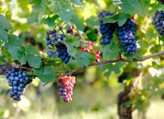 Почему виноград не бывает червивым?