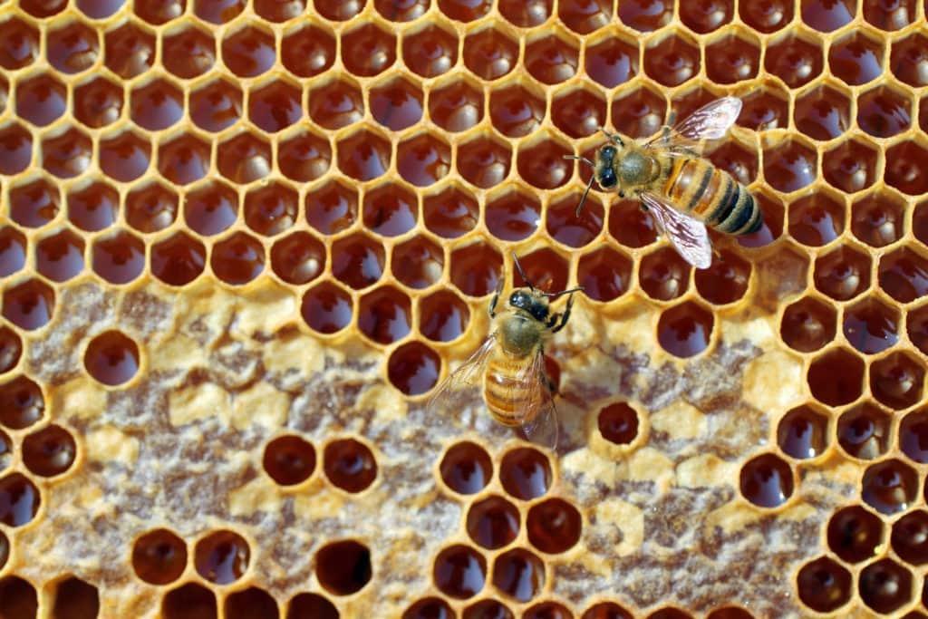 Пчёлы заполняют соты нектаром