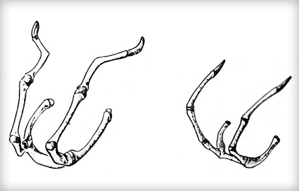 Подъязычные кости собаки (слева) и кошки (справа)