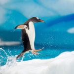 Какую воду пьют пингвины: пресную или соленую?