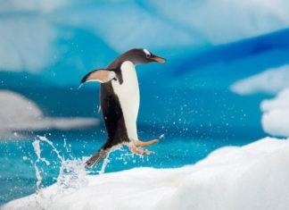 Какую воду пьют пингвины пресную или соленую?