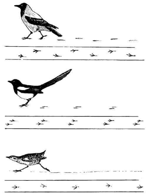 Передвижение птиц