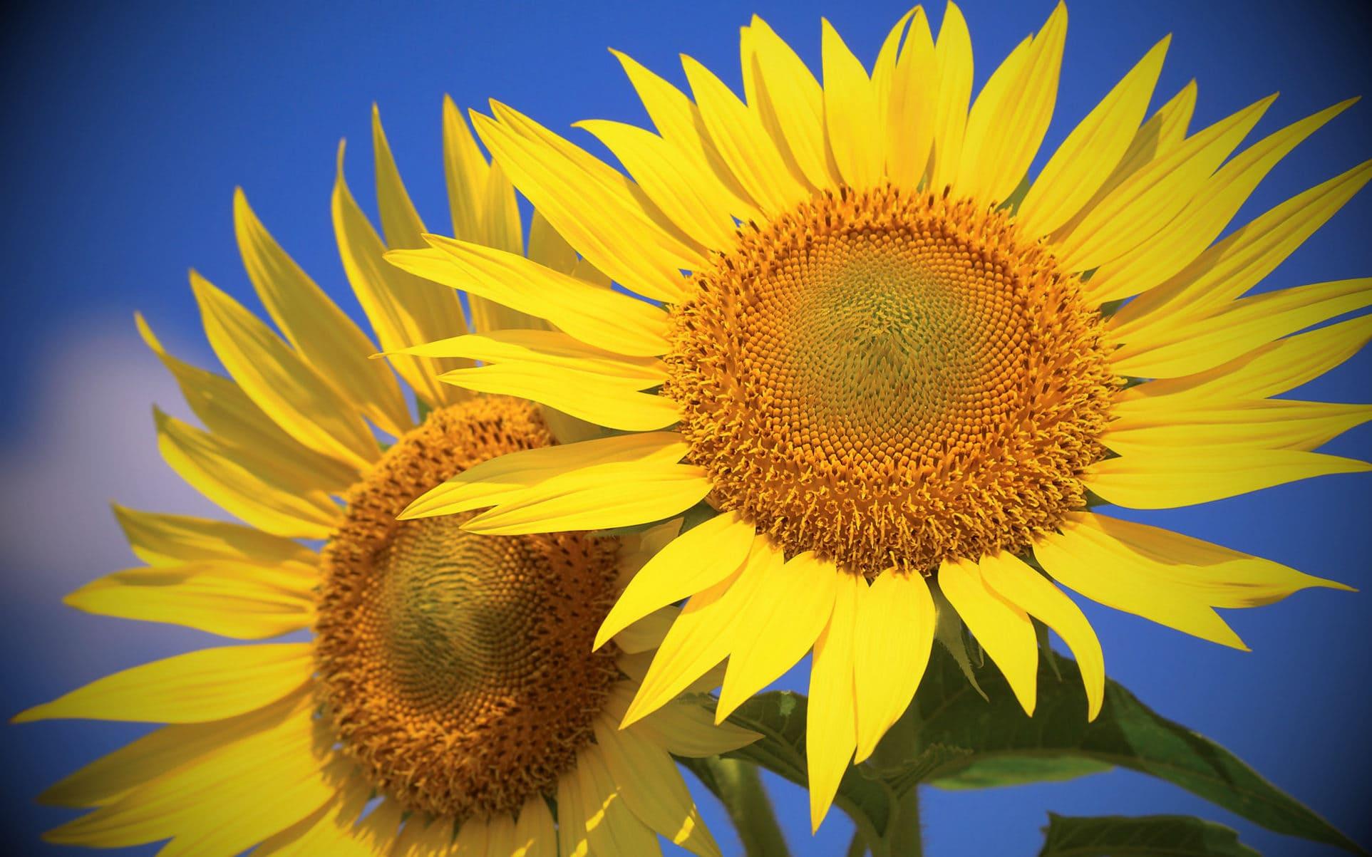 Как и почему подсолнухи поворачиваются к солнцу?