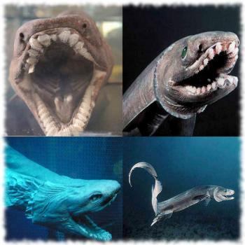 Плащеносная акула