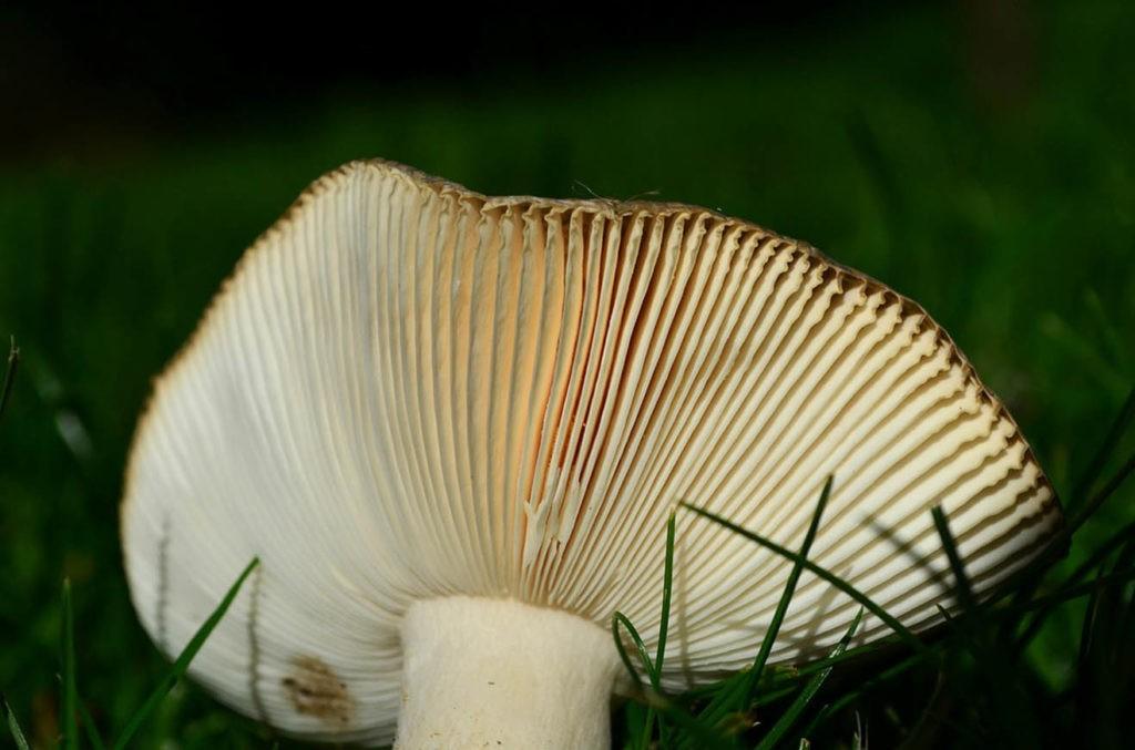 Пластинки гриба