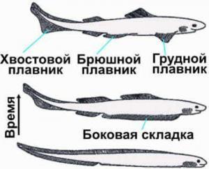 Плавники рыб и эволюция