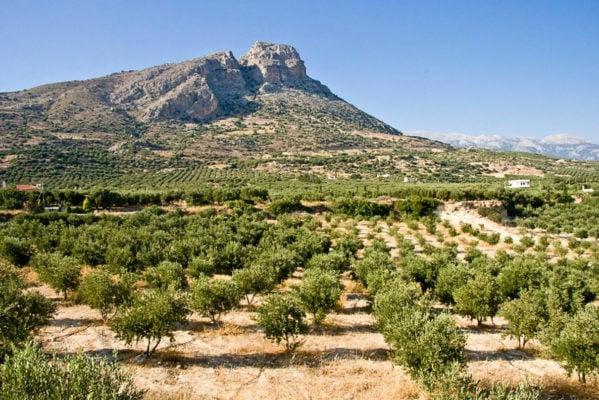 Оливковые поля в Греции