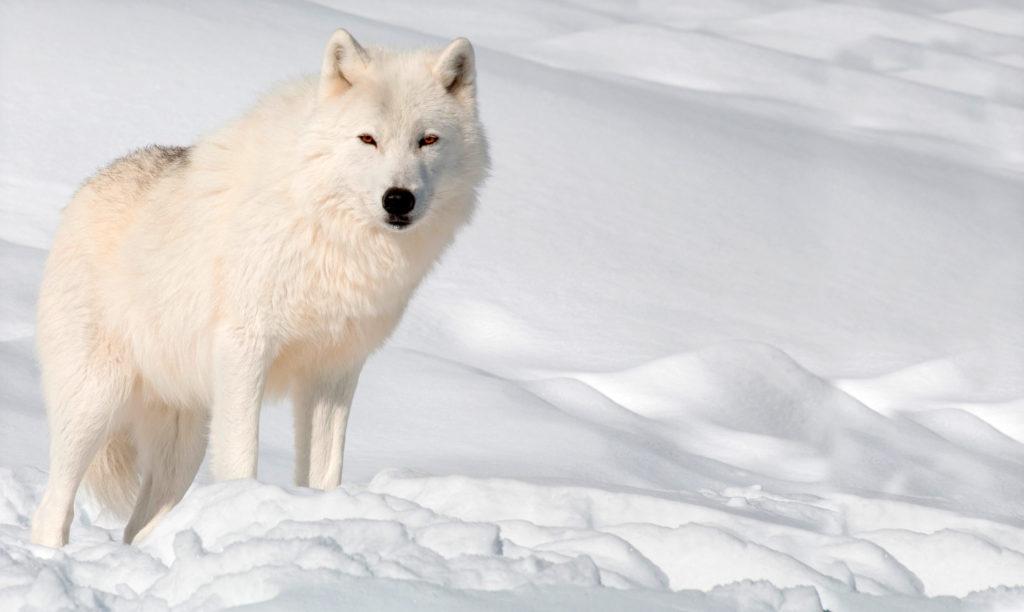 Полярный волк