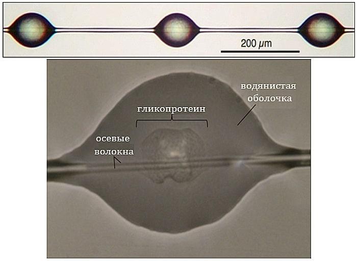 Положение клейких капелек на паутинной нити (вверху) и строение капельки. Каждая капелька имеет гликопротеиновое ядро и водянистую оболочку, состоящую в основном из воды и пептидов