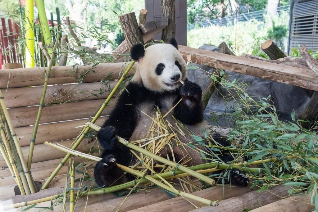 Панда в зоопарке
