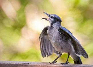 Почему поют птицы?