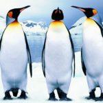 Пингвины – интересные факты