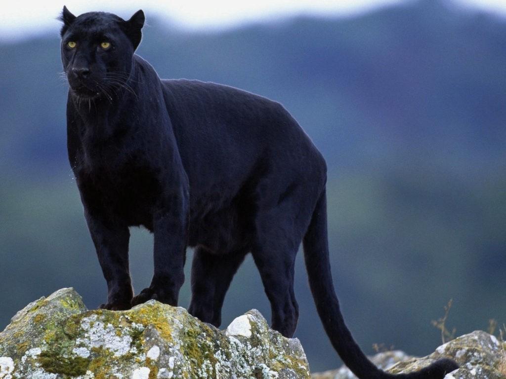 Внешний вид пантер
