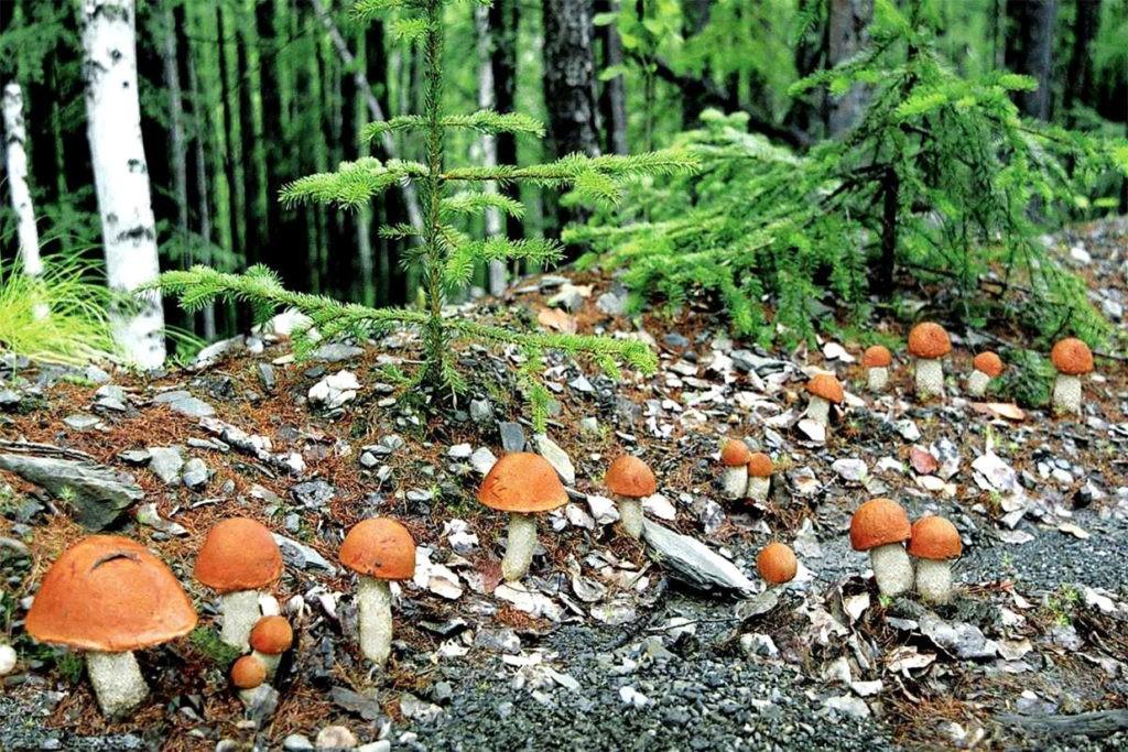 Много подосиновиков в сосновом лесу