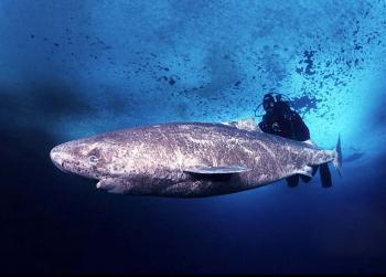 Полярная (ледовая, гренландская) акула