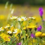 Полезные свойства полевых цветов