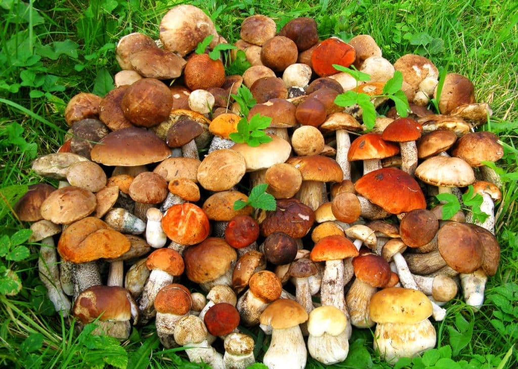 Разнообразие белых грибов