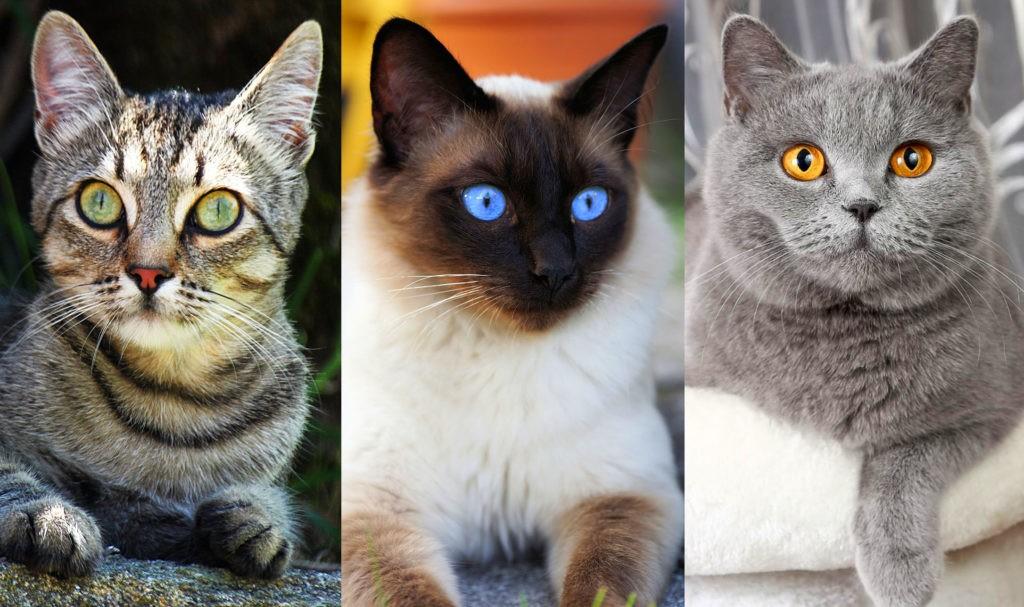 Европейская, сиамская, британская породы кошек