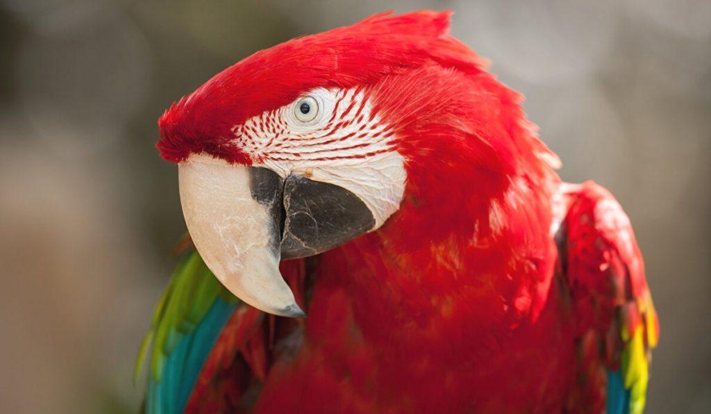 Попугай с ведущим левым глазом