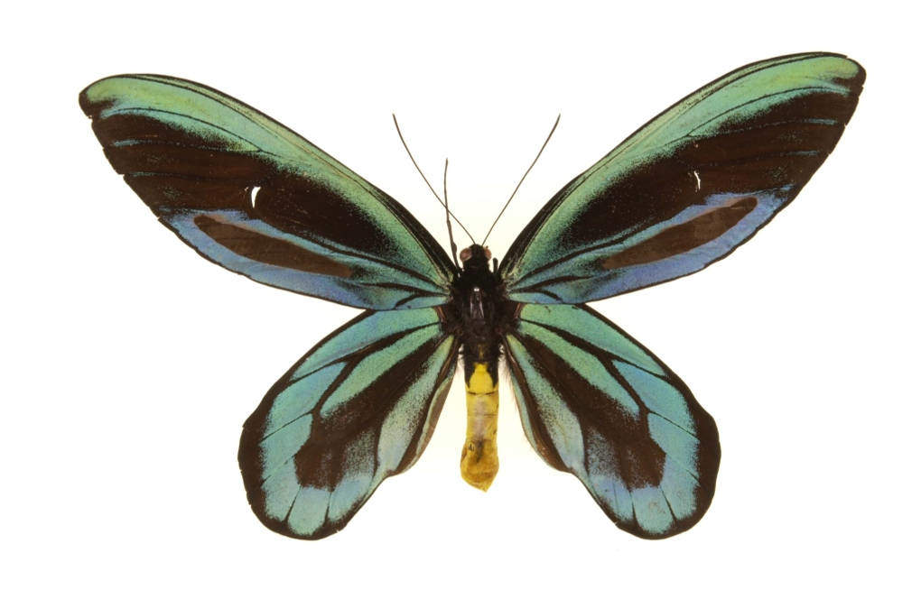 Птицекрылка королевы Александры