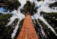 Существует ли предел у высоты деревьев?