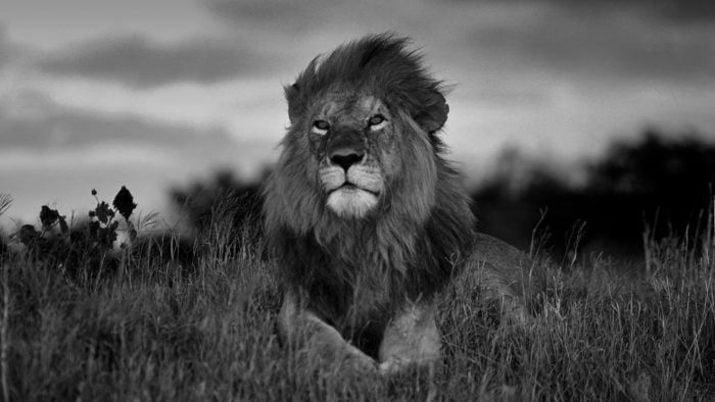 Продолжительность жизни львов
